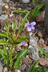 Arrowleaf violet (Viola sagittata)